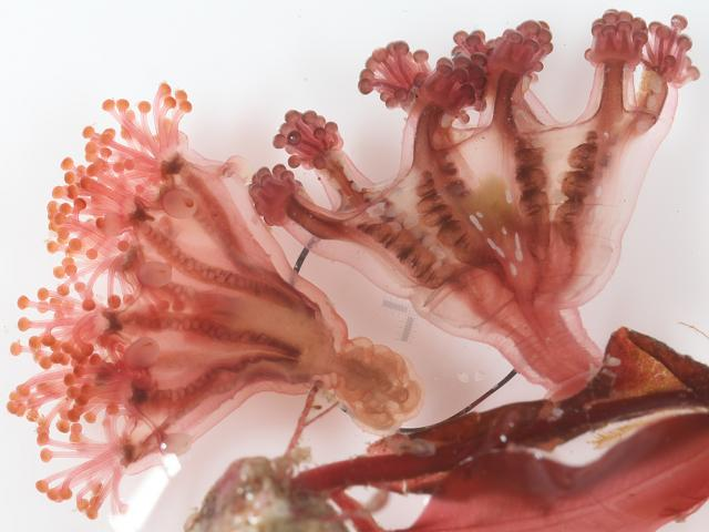 Stauromedusae Stalked jellyfish UK Ireland